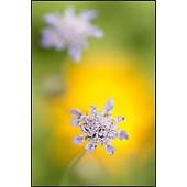bloeiend Duifkruid